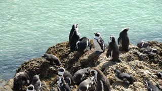 Penguin colony at the rocks in Stony Point South Africa