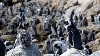 Penguin colony with molting penguins at Stony Point South Africa