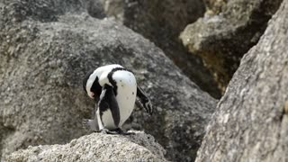 Penguin standing on a rock cleaning his feathers at boulders beach in the Cape Peninsula South Africa