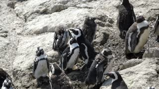 Penguin stretching out at the rocks in Stony Point South Africa