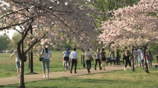 People walking by Cherry Blossoms 1