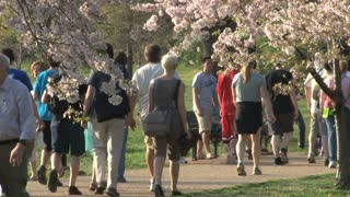 People walking by Cherry Blossoms 2