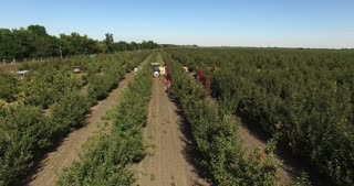 Peoples harvest apples in Orchard