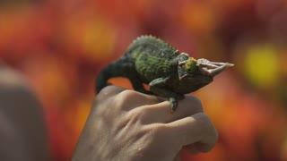 Person Holds Chameleon