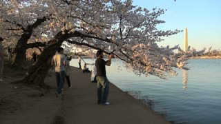 Person picking at cherry blossom tree