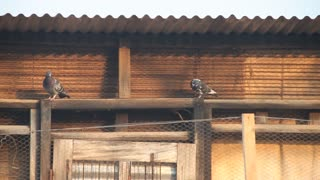 Pigeons Sit Under Corrugated Roofing