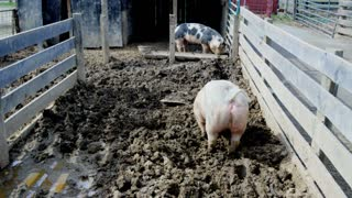 Pigs Playing in Mud