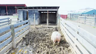 Pigs Running Around in Mud
