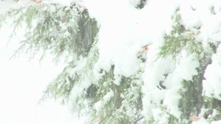 Piles Of Snow Fall On Trees