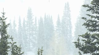 Pine Trees in Heavy Snow 2
