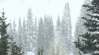 Pine Trees in Heavy Snow