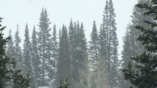 Pine Trees in Snowstorm 2