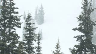 Pine Trees on Mountain in Snowstorm 2