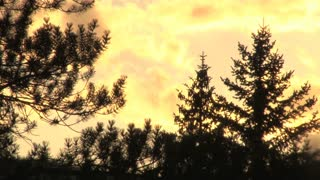 Pine Trees Sunset Silhouette