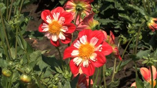 Pink and Red Asters 3