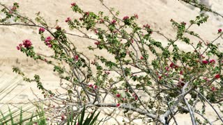 Pink Flowered Bush On Dry Dirt Hill