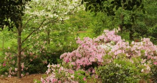 Pink Flowering Tree in Woods