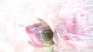 Pink rose and water loop background