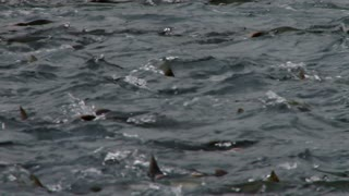 Pink Salmon Swimming Upstream into Spawning Frenzy