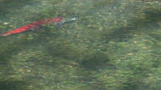 Pink Sockeye Salmon