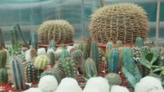 plantation of cactuses in the greenhouse
