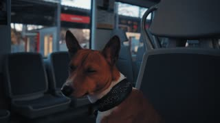 Portrait of cute basenji dog looking at camera while sitting in train car during his travel somewhere at sunny day