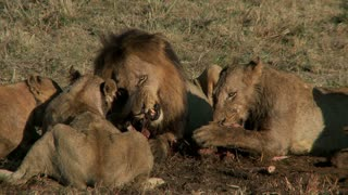 Pride Of Lions Eating 2
