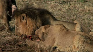Pride Of Lions Eating 3