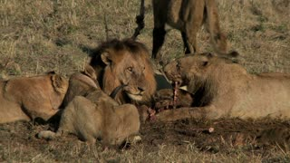 Pride Of Lions Eating