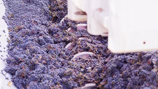 Processing Vineyard Grapes In Napa Valley