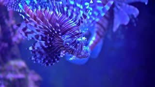 Pterois radiata in an aquarium on a blue background