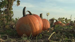 Pumpkins in a Patch Up Close 2