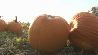 Pumpkins in a Patch Up Close