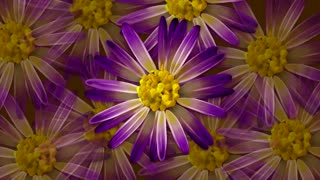 Purple Daisy Flowers Spinning
