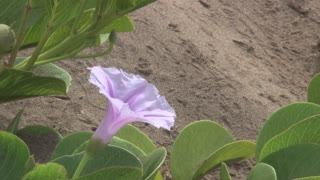 Purple Flower in the Hawaii Sand