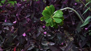 Purple Leaves and Green Plant