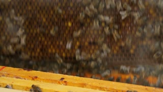 Putting the honeycomb with honey bees back into the hive, close-up