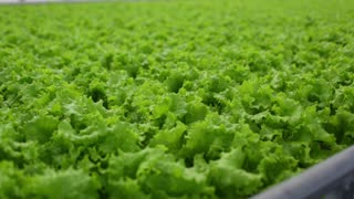 Quality control. Young female scientist stselects new breed of green salad optimized for consumption. Focus on the hand