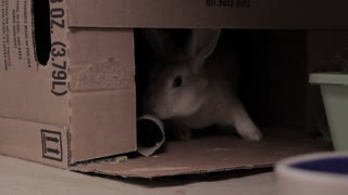 Rabbit Chewing On Cardboard