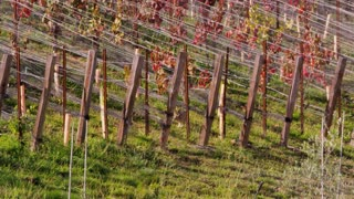 Rabbit Hopping Through Vineyard