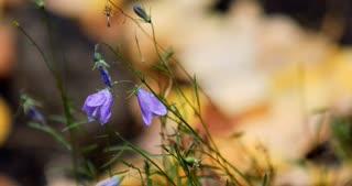 Rack focus from purple flower to wet Aspen leaves