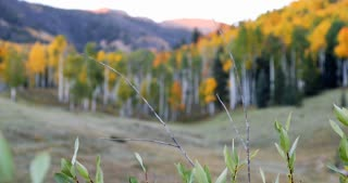 Rack focus onto a forest of fall foliage Aspens with sunset Rocky Mountains