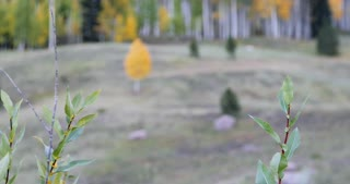 Rack focus onto a lonesome fall foliage Aspen tree growing in a forest 2