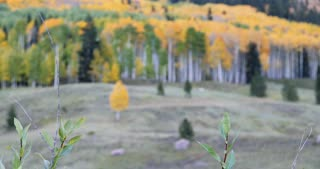 Rack focus onto a lonesome fall foliage Aspen tree growing in a forest 3