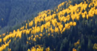 Rack focus onto vibrant golden forest of Aspen and pine trees in autumn with fall foliage