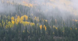 Rain and fog blow over Aspen trees and Pines in Autumn