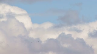 Ravens and Bald Eagle Soaring in a Cloudy Sky