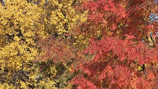 Red and Yellow Leaves in Fall Breeze