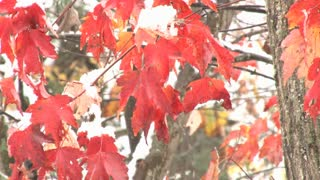 Red Leaves On Snowy Tree