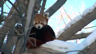 Red Panda Sits In Tree